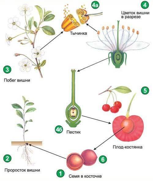 общее знакомство с цветковыми растениями таблица